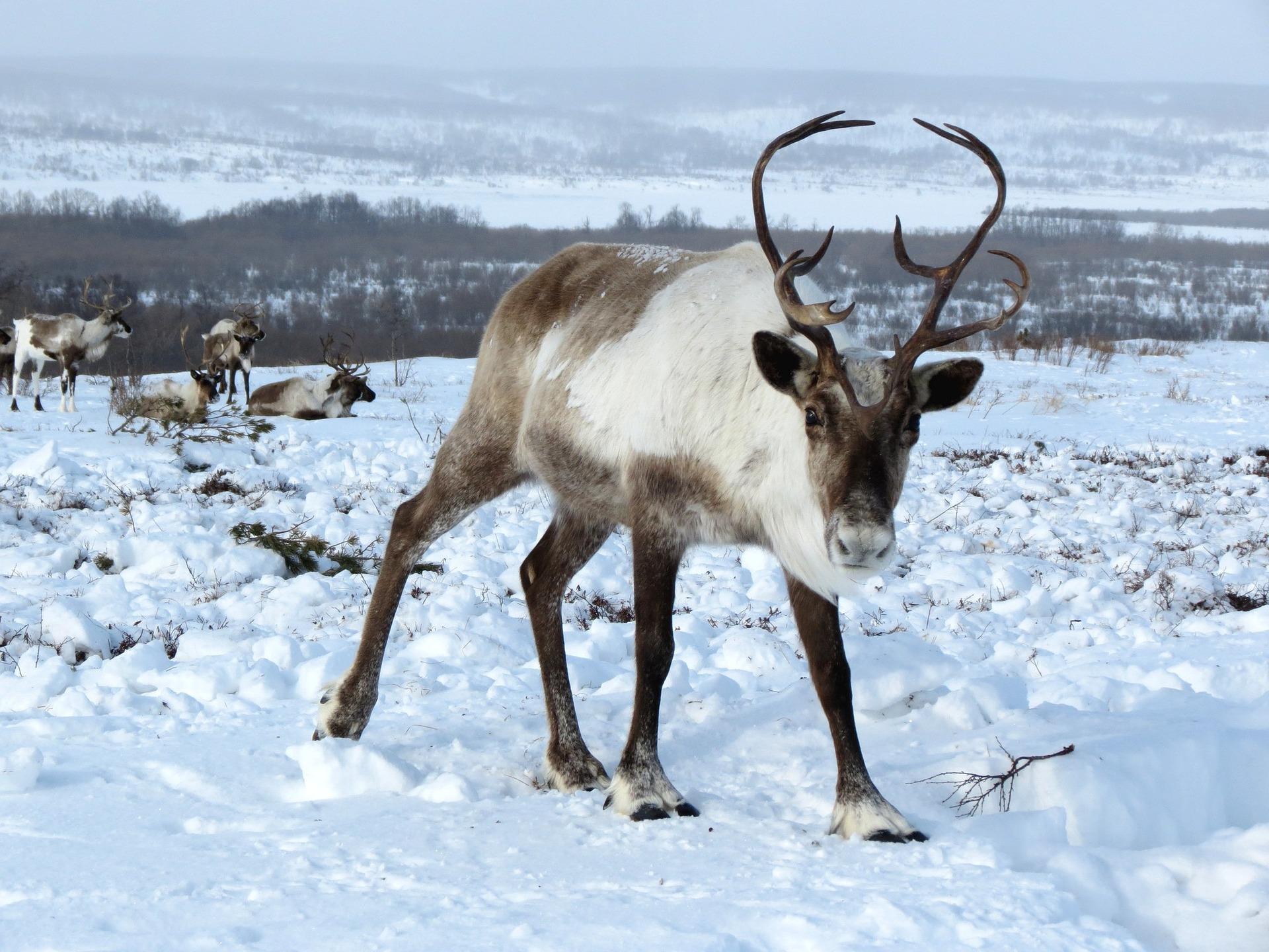 reindeer-2524815_1920