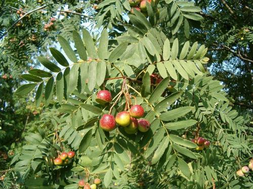 1280px-Sorbus domestica FruitsLeaves BotGardBln0906a